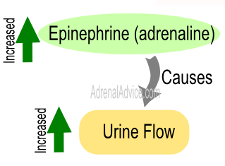 adrenal fatigue urination