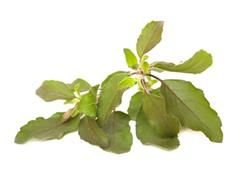 holy basil adrenal fatigue